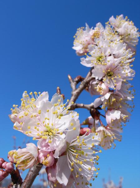 中国実桜_9